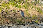 Merlin, a critically endangered bird in Little Rann of Kutch, Gujarat, India, Asia Stock Photo - Premium Rights-Managed, Artist: Robert Harding Images, Code: 841-06499785