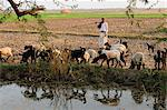 A shepherd herds his sheep along the cultivated land, Gujarat, India, Asia Stock Photo - Premium Rights-Managed, Artist: Robert Harding Images, Code: 841-06499789