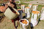 Carrot harvest, Vakinankaratra region, Madagascar, Africa Stock Photo - Premium Rights-Managed, Artist: Robert Harding Images, Code: 841-06500270