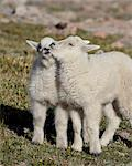 Two mountain goat (Oreamnos americanus) kids playing, Mount Evans, Arapaho-Roosevelt National Forest, Colorado, United States of America, North America Stock Photo - Premium Rights-Managed, Artist: Robert Harding Images, Code: 841-06500681