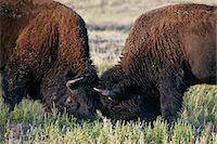 Bison (Bison bison) bulls sparring, Custer State Park, South Dakota, United States of America, North America Stock Photo - Premium Rights-Managednull, Code: 841-06500755