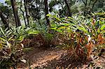 Cardamom plantation in the mountains of Munnar, Kerala, India, Asia Stock Photo - Premium Rights-Managed, Artist: Robert Harding Images, Code: 841-06501002