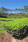 Tea plantation in the mountains of Munnar, Kerala, India, Asia Stock Photo - Premium Rights-Managed, Artist: Robert Harding Images, Code: 841-06501005