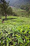 Tea plantation in the mountains of Munnar, Kerala, India, Asia Stock Photo - Premium Rights-Managed, Artist: Robert Harding Images, Code: 841-06501011