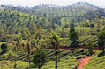Tea plantation in the mountains of Munnar, Kerala, India, Asia Stock Photo - Premium Rights-Managed, Artist: Robert Harding Images, Code: 841-06501017