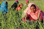 Women harvesting beans, Uttar Pradesh, India, Asia Stock Photo - Premium Rights-Managed, Artist: Robert Harding Images, Code: 841-06502204