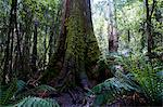 Pandani Grove Nature Trail, Mount Field National Park, Tasmania, Australia, Pacific Stock Photo - Premium Rights-Managed, Artist: Robert Harding Images, Code: 841-06502435