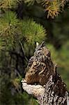 Eurasian eagle-owl (Bubo bubo), Bearizona Wildlife Park, Williams, Arizona, United States of America, North America Stock Photo - Premium Rights-Managed, Artist: Robert Harding Images, Code: 841-06502795