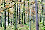 Pine trees in woodland near Grange, Borrowdale, Lake District National Park, Cumbria, England, United Kingdom, Europe Stock Photo - Premium Rights-Managed, Artist: Robert Harding Images, Code: 841-06503047