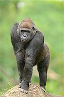 Western Lowland Gorilla Stock Photo - Premium Rights-Managednull, Code: 700-06512677