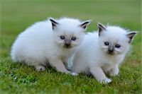 Two Birman Kittens Outdoors on Grass Stock Photo - Premium Rights-Managednull, Code: 700-06512681