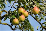 Close-Up of Pears Growing on Tree Stock Photo - Premium Rights-Managed, Artist: David & Micha Sheldon, Code: 700-06512685