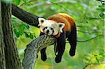 Red Panda (Ailurus fulgens) Lying on Tree Branch Stock Photo - Premium Rights-Managed, Artist: David & Micha Sheldon, Code: 700-06512696