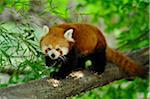 Red Panda (Ailurus fulgens) Walking Along Tree Branch Stock Photo - Premium Rights-Managed, Artist: David & Micha Sheldon, Code: 700-06512697