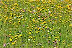 Alpine Flower Meadow in the Spring, Arabba, Passo Pordoi, Province of Belluno, Veneto, Dolomites, Italy Stock Photo - Premium Royalty-Free, Artist: Raimund Linke, Code: 600-06512905
