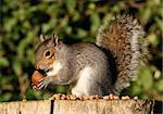 Portrait of a Grey Squirrel eating Chestnuts in Autumn Stock Photo - Royalty-Free, Artist: scooperdigital                , Code: 400-06522283