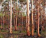 earthy tones regrowth of eucalypt gumtree forest woodland after bushfire in australia Stock Photo - Royalty-Free, Artist: byjenjen                      , Code: 400-06522840