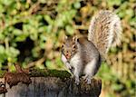Portrait of a Grey Squirrel eating peanuts in Autumn Stock Photo - Royalty-Free, Artist: scooperdigital                , Code: 400-06523341