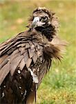 Portrait of a Cinereous Vulture Stock Photo - Royalty-Free, Artist: scooperdigital                , Code: 400-06523351