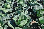 Cabbage field Stock Photo - Royalty-Free, Artist: rbiedermann                   , Code: 400-06523391