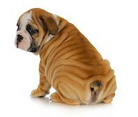 wrinkly puppy - english bulldog puppy with lots of wrinkles sitting with bum to viewer on white background Stock Photo - Royalty-Freenull, Code: 400-06523574