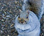 Fat Grey Squirrel on haunches, looking at camera Stock Photo - Royalty-Free, Artist: suerob                        , Code: 400-06525566