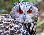 Eagle Owl - Bubo bubo Stock Photo - Royalty-Free, Artist: pixelnest                     , Code: 400-06530848