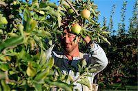 single fruits tree - Man picking golden delicious apples in an apple orchard, Kelowna, British Columbia Stock Photo - Premium Rights-Managednull, Code: 700-06531428