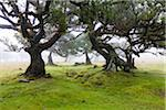 Til (Ocotea foetens) trees in fog, century old on plateau Paul da Serra, Madeira, Portugal Stock Photo - Premium Rights-Managed, Artist: F. Lukasseck, Code: 700-06531522