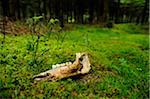 Decaying Jaw Bone on Moss-Covered Forest Floor Stock Photo - Premium Rights-Managed, Artist: David & Micha Sheldon, Code: 700-06531719