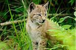 Young Eurasian Lynx Cub Sitting in Long Grass Stock Photo - Premium Rights-Managed, Artist: David & Micha Sheldon, Code: 700-06531809