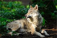 perception - Eurasian Gray Wolf (Canis lupus lupus) Lying Down in Sun Stock Photo - Premium Rights-Managednull, Code: 700-06531817