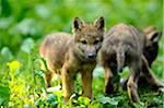 Two Eurasian Wolf Pups Outdoors (Canis lupus lupus) Stock Photo - Premium Rights-Managed, Artist: David & Micha Sheldon, Code: 700-06531822