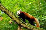 Red Panda (Ailurus fulgens) on Tree Branch Stock Photo - Premium Rights-Managed, Artist: David & Micha Sheldon, Code: 700-06531837