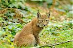 Portrait of Lynx, Wildpark Alte Fasanerie Hanau, Hessen, Germany Stock Photo - Premium Rights-Managed, Artist: David & Micha Sheldon, Code: 700-06531860