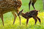 Side View of Sika Deer (Cervus nippon) Fawn Standing near Mother Stock Photo - Premium Rights-Managed, Artist: David & Micha Sheldon, Code: 700-06531886