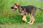 Mixed-Breed Puppy Running in Field of Long Grass, Bavaria, Germany Stock Photo - Premium Rights-Managed, Artist: David & Micha Sheldon, Code: 700-06531890