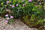 annual candytuft, Iberis umbellata (Fairy Series) garden edging in bloom with moss, gravel and rock landscaping, Canada Stock Photo - Premium Royalty-Free, Artist: Yvonne Duivenvoorden, Code: 600-06532007