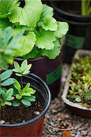 potted plant - garden plants (hen and chicks, Gaultheria procumbens, wintergreen) in plant pots as seedlings for outdoor garden, Canada Stock Photo - Premium Royalty-Freenull, Code: 600-06532011