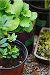 garden plants (hen and chicks, Gaultheria procumbens, wintergreen) in plant pots as seedlings for outdoor garden, Canada Stock Photo - Premium Royalty-Free, Artist: Yvonne Duivenvoorden, Code: 600-06532011