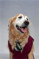 represented - A golden retriever wearing a tie and sweater vest Stock Photo - Premium Royalty-Freenull, Code: 653-06534047