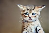 A little tabby kitten close-up Stock Photo - Premium Royalty-Freenull, Code: 653-06534063