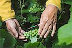 A senior man holding a bunch of grapes growing on a vine, close-up of hands