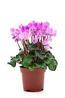 potted plant - pink cyclamen Stock Photo - Premium Royalty-Freenull, Code: 6106-06536034