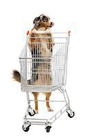 empty shopping cart - Australian Shepherd pushing a shopping cart Stock Photo - Premium Royalty-Freenull, Code: 6106-06536117