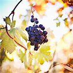 Zinfandel grapes growing on vine Stock Photo - Premium Royalty-Freenull, Code: 6106-06536541