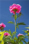Close up of pink flowers outdoors Stock Photo - Premium Royalty-Free, Artist: AWL Images, Code: 614-06536818