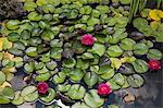 Water lilies floating in pond Stock Photo - Premium Royalty-Free, Artist: Blend Images, Code: 614-06537417