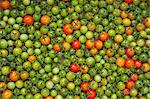 Organic Cherry Tomatoes Stock Photo - Premium Royalty-Free, Artist: Andrew Kolb, Code: 618-06538715