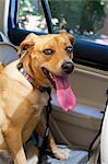 Dog in backseat of car with long tounge smiling Stock Photo - Premium Royalty-Freenull, Code: 618-06538869